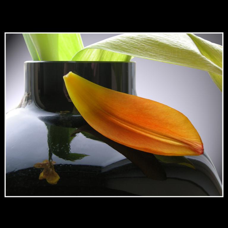 Pétale de tulipe